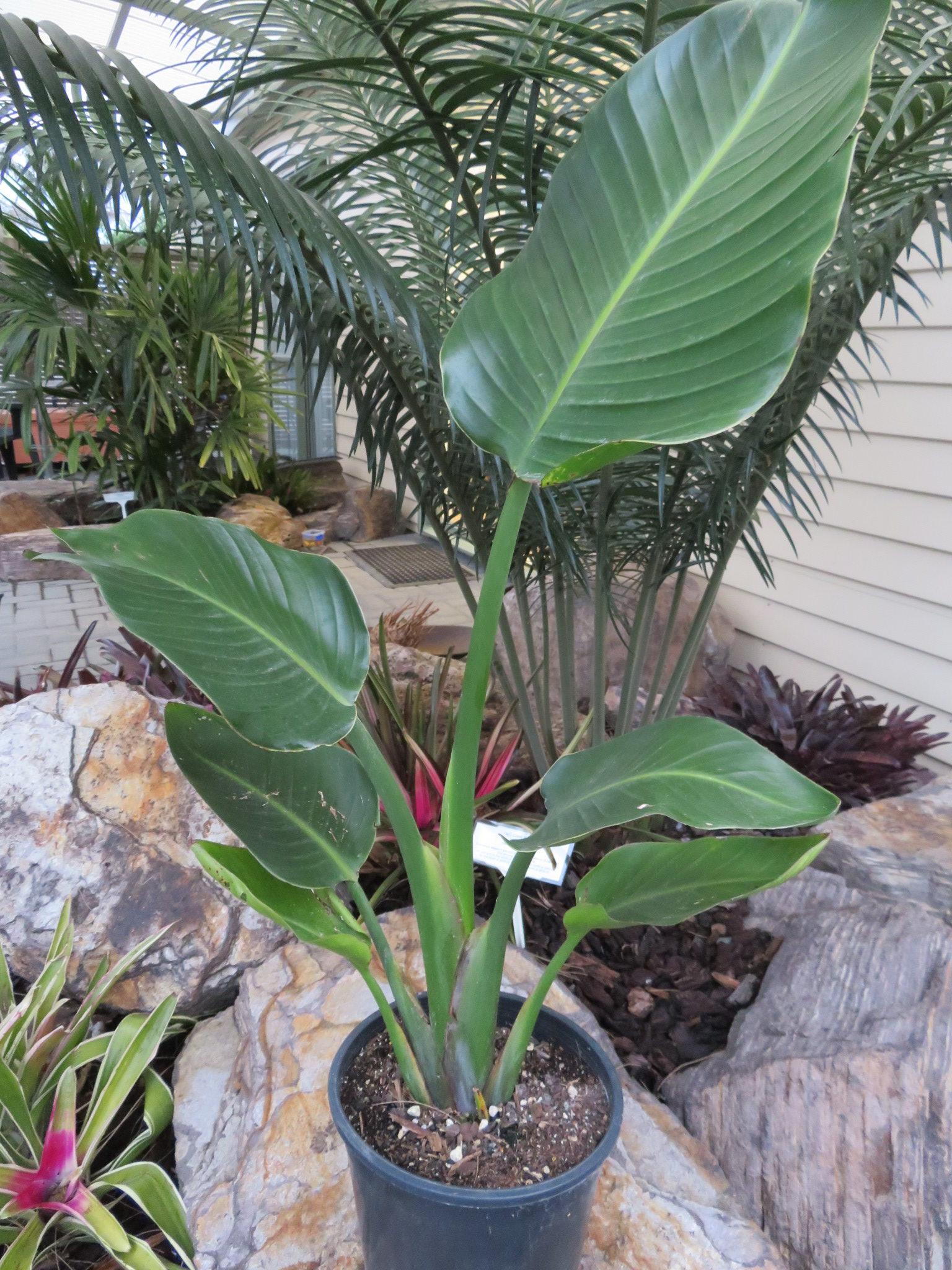 Bird Of Paradise Giant Strelitzia Nicolai Coast Palms Cycads