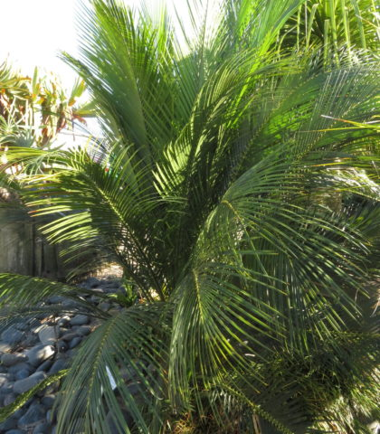 25 year old Macrozamia communis March 2019