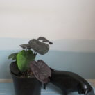 2.5 litre potted Colocasia 'Black Coral'