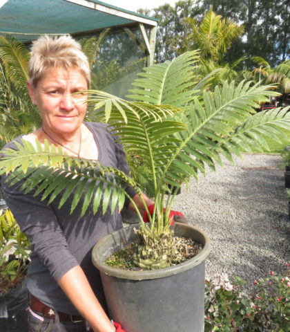 Giant Dioon 10 litre pot Sept 2019