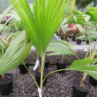 Alakai Swamp (Pritchardia) 4.7 litre pot Sept 2019