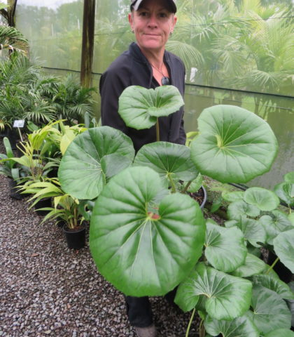 Ligularia reniformis 4 litre pot (Tractor Seat) Sept 2019