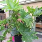 Philodendron 'Selloum Hope' 4l pot $75.00