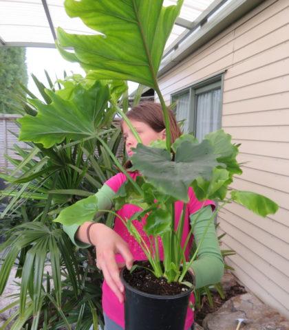 Philodendron 'Selloum Hope' 14cm pot $40.50