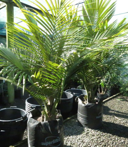 Bronze Palm 75 litre 1.5m height Nov 2019