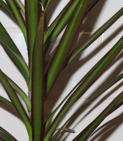 2.5 litre potted Dracaena marginata leaf study