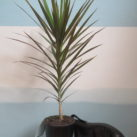 2.5 litre potted Dracaena marginata
