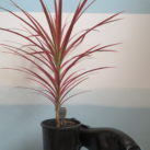 2.5 litre potted Dracaena marginata v. Colorama