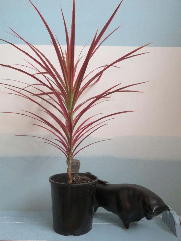 2.5 litre potted Dracaena marginata v. Colorama