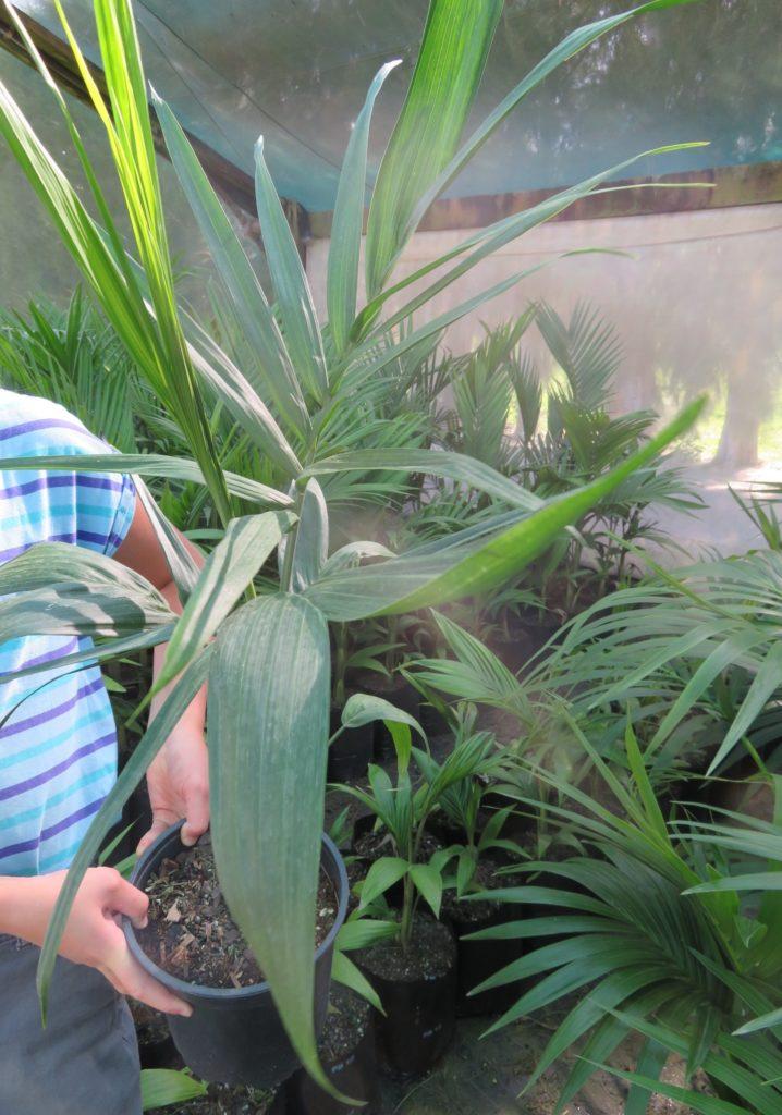 Chamaedorea radicalis- multi trunk 5.5l pot Jan 2020 (1)