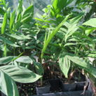 Bamboo or Reed palm 1 litre grade 50cm height