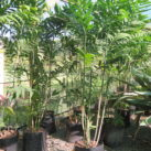 Bamboo or Reed palm 35 litre grade 1.8m height