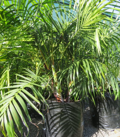 Sugar Cane palm 45 litre grade 110cm height