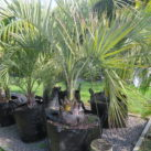 Jelly palm 135 litre grade 1.5m height