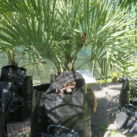 Southern Jelly palm 75 litre grade 90cm height