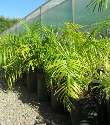 Sugar Cane palm 25 litre grade 90cm height