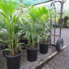 (Photo 1) 14 litre potted multi planted Kentia June 2020
