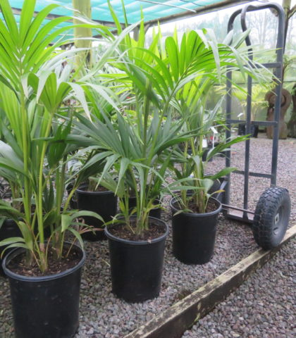 (Photo 1) 14 litre potted multi planted Kentia June 2020