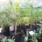 Ravenea glauca 1.2m height 35 litre July 2020