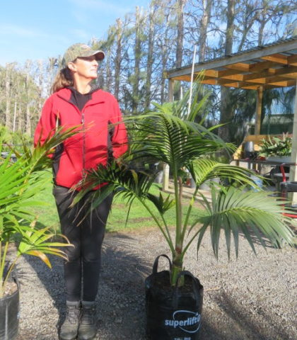 Kentia (with Sally who is 178cm tall) 35 litre