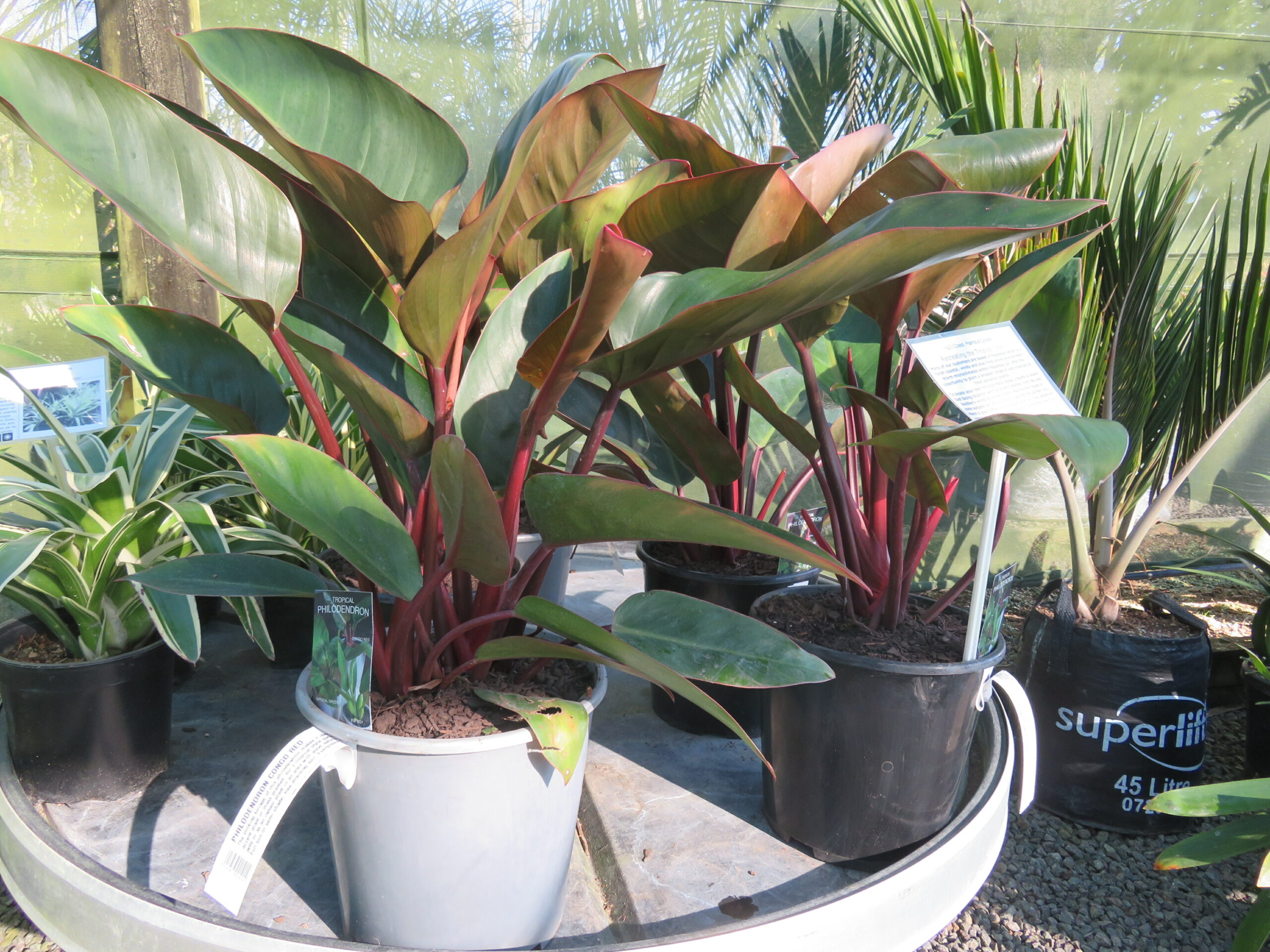 Philodendron 'Congo Red' - Coast Palms & Cycads