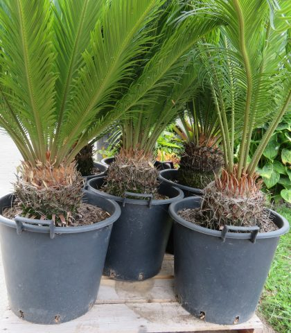 35 litre potted Sago XXL grade February 2021 SALE PRICE $355.00