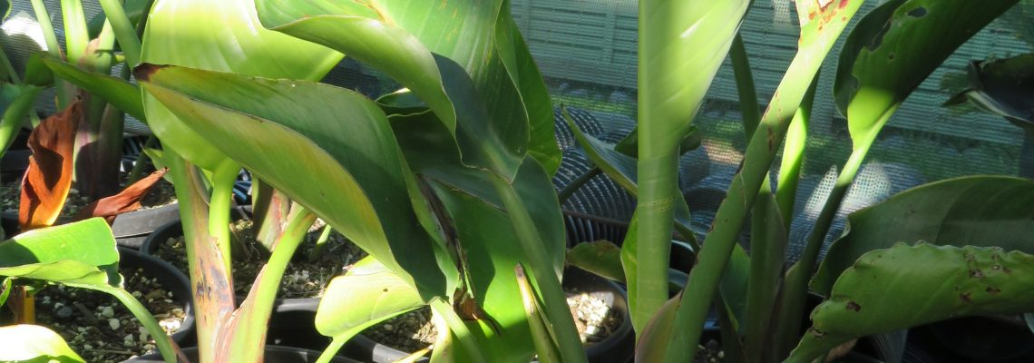 10 litre potted Giant Bird of Paradise 70cm height