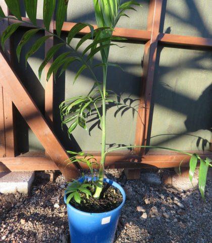 Chamaedorea costaricana 8 litre bucket