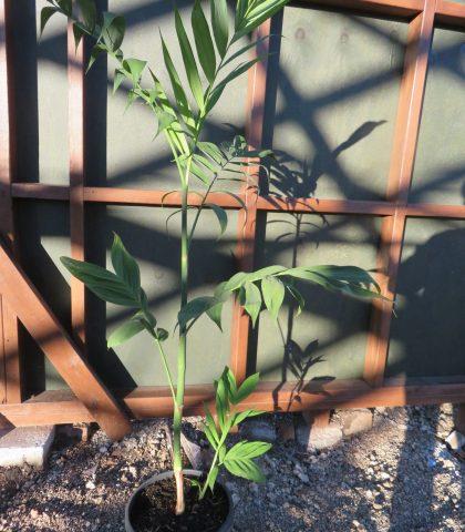 Chamaedorea seifrizii 10l