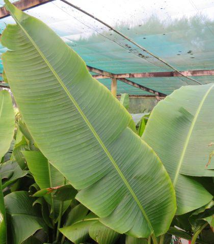 Heliconia schiedeana-10 litre