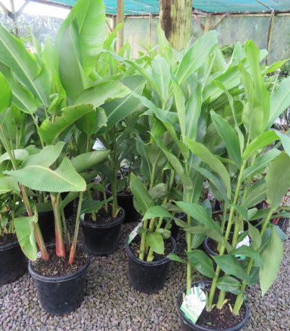 Ginger White- Hedychium coronarium 8.5 litre pot