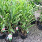 White Ginger- Hedychium coccineum Lizzie 5 litre pot