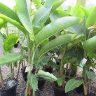 Heliconia subulata- Guatamalan Bird of Paradise 8.5 litre pot