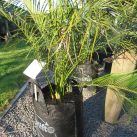 Macrozamia communis 25 litre ezylift (2 available)