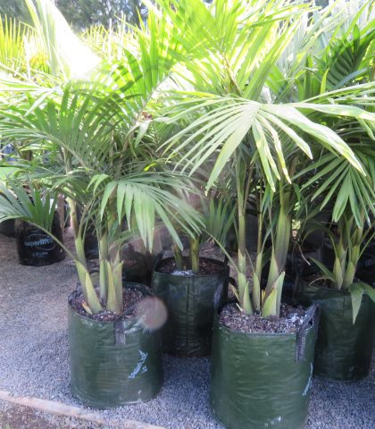 45 litre (multi planted) grade at 1.4m height $230 inc GST ea.